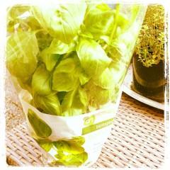 basilicum plant